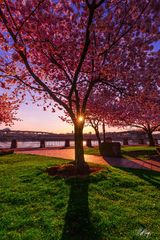 Cherry Blossoms at Sunrise on the Willamette (2014) print