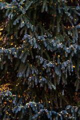 Blue Spruce Leaf Magnet (2020) print