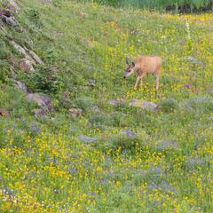 Deer in a Field of Wildflowers (2021) print