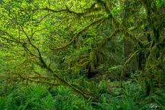 Lush Maple Rainforest (2021) print