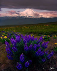 Mount Hood and Wild Lupine (2015) print