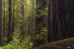 Redwood Giant in Soft Light (2021) print