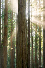 Redwoods Burst of Light (2021) print