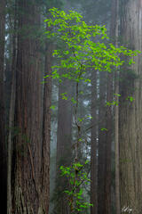 A Redwood Frame (2021) print