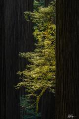 Redwoods Torch (2021) print