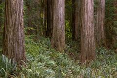 Redwoods Trio (2021) print