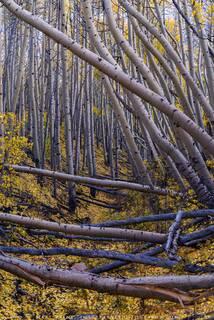 Tilted Aspen Forest (2020)