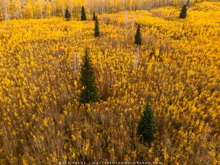Pine Trees and Aspen Saplings (2020)