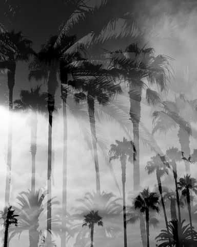 B&W, Black and White, Monochrome, Palm Trees, Palms Collection, Plants, Tree, Trees