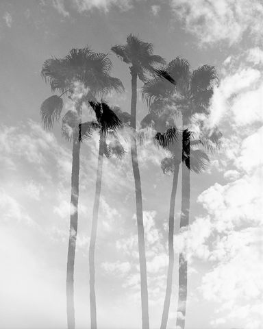 Abstract, B&W, Black and White, California, Mamiya RZ67, Monochrome, Nature, Outdoors, Palm Trees, Palms Collection, Plants, Southern California, Tree, Trees, USA, United States, Vertical