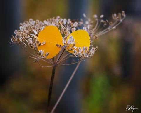 Colorado, Macro, Seeds, aspen leaves