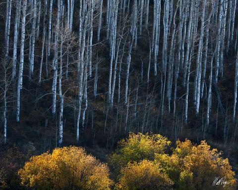Aspen Trees, Autumn, Colorado, Paonia, willow, Gunnison National Forest