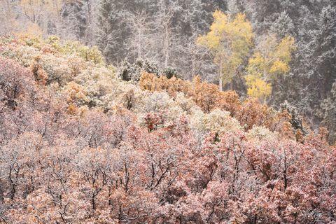 Aspen Trees, Autumn, Colorado, Landscape, Ridgway, Snow, scrub oak