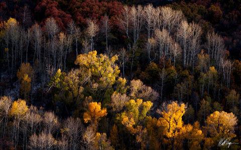 Aspen Trees, Autumn, Colorado, Ridgway, cottonwood trees
