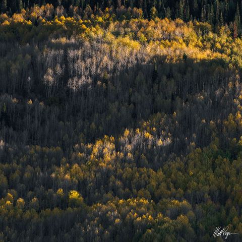 Aspen Trees, Autumn, Colorado, Ridgway, hillside