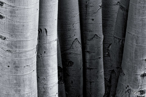 8, Aspen Trees, Autumn, Black and White, Colorado, Fall, Texture, cluster, detail, side-by-side, West Elk Mountains