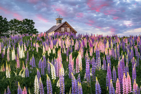 Barn, Bloom, Farm, Field, Gifts, Image, June, Landscape, Lupines, ME, Maine, Maine Art, Maine Gifts, Maine Photography, Many, New England, Pastoral, Photography, Prints, Rural, Scenery, Scenic, Summer