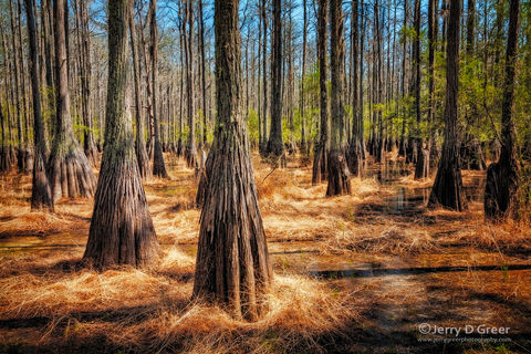 Carolina Bay, Cathedral Bay Heritage Preserve, Coastal Plain, Cypress Swamp, Forest composition, Intimate Landscape, Lakes & Ponds, Scenic, South Carolina, Southern Swamp Forest, Spring