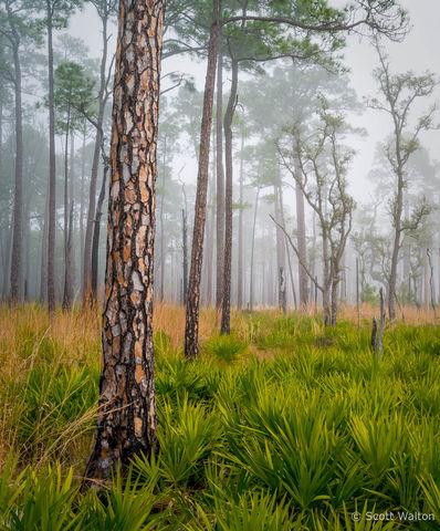 Longleaf Pines, Fog