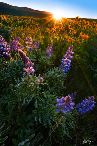 Balsamroot, Dalles Mountain Ranch, wildflowers, Lupine, Washington, Spring, Sun, Sunflare, Sunrise, Sunstar, The Dalles