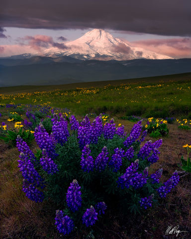 Lupine, Mount Hood, Wildflowers, Columbia River Gorge, Dalles Mountain Ranch, Pacific Northwest, Washington, The Dalles