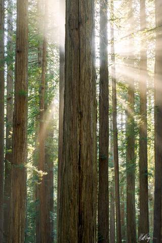 Redwoods Burst of Light (2021)