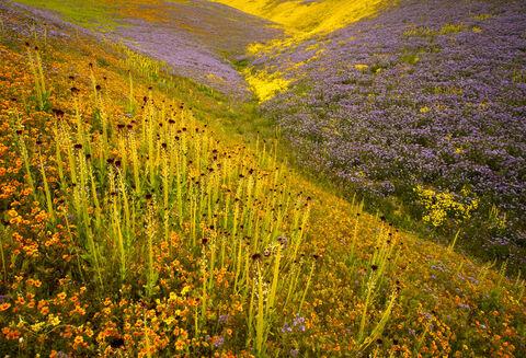Flowers, Landscape, awe, beautiful, color, colorful, description, dramatic, feelings, nature, orange, outdoor, purple, seasons, spring, striking, superbloom, vibrant, vivid, wildflowers, yellow