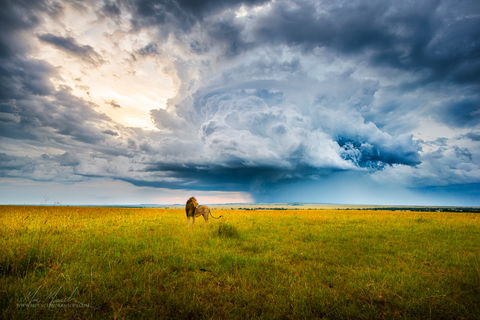 Africa, Maasai Mara National Reserve, Master list 11-08, clouds, grass, kenya, lion, marc muench, praire, storm, stormy, wildlife