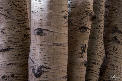 Aspen Trees, Autumn, Colorado, Eyes, Fall, Forest, Intimate Landscape, abstract