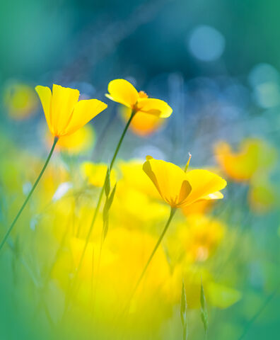 Poppies and White Flower Bokeh - Beth Young