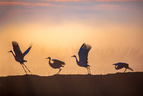Sandhill Crane Silhouettes - Beth Young