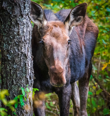 Animal, Mammal, Moose, Nature, Vermont, Wildlife, Young Moose