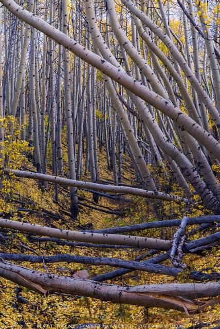 Aspen Trees, Autumn, Colorado, Fall, Fall Colors, Foliage, Forest, Landscape, aspen leaves, landscape photography