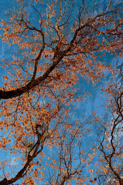 Autumn, Leaves, Oak, Winter, Yosemite National Park, backlit, branches, tree
