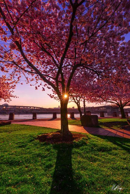 Cherry Blossoms, Landscape, Oregon, Portland Oregon, Sun, Sunstar, Sunrise, spring