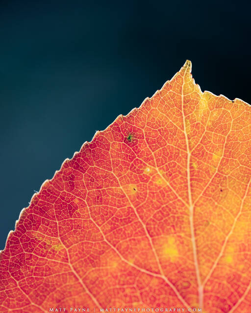 Autumn, Colorado, Fall, Fall Colors, Foliage, chlorophyll, colorful, leaf, science