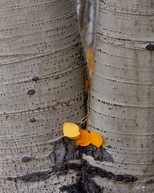 Aspen Trees, Autumn, Colorado, Crested Butte, Fall, Fall Colors, Leaves, trunks
