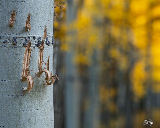Aspen Trees, Autumn, Bark, Colorado, Crested Butte, Fall, Fall Colors, bear claw
