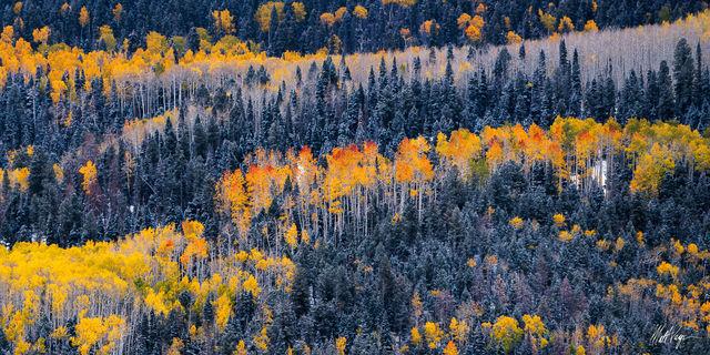 Aspen Trees, Autumn, Blue Spruce, Colorado, Landscape, Ridgway, Snow, Panorama, Panoramic