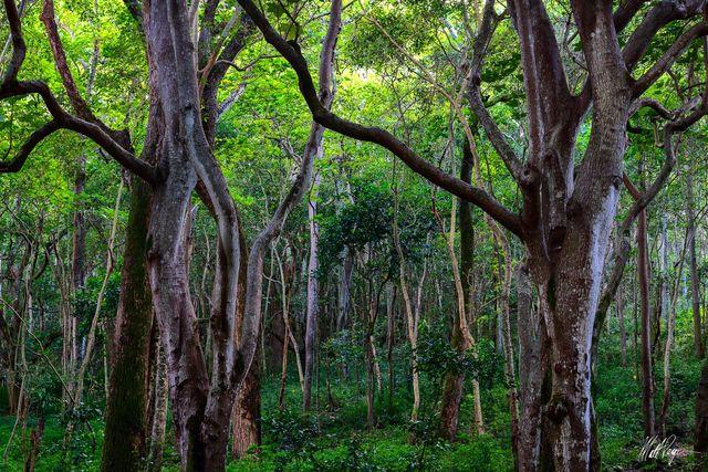 Forest, Hawaii, Jungle, Kauai, Moss, Waimea Canyon, Wilderness, canopy, textures, trees