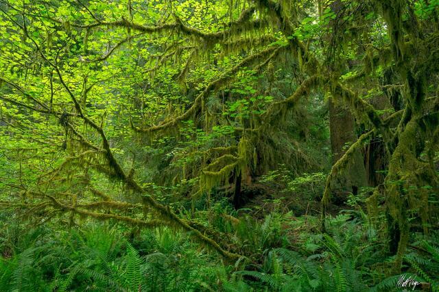 Lush Maple Rainforest (2021)