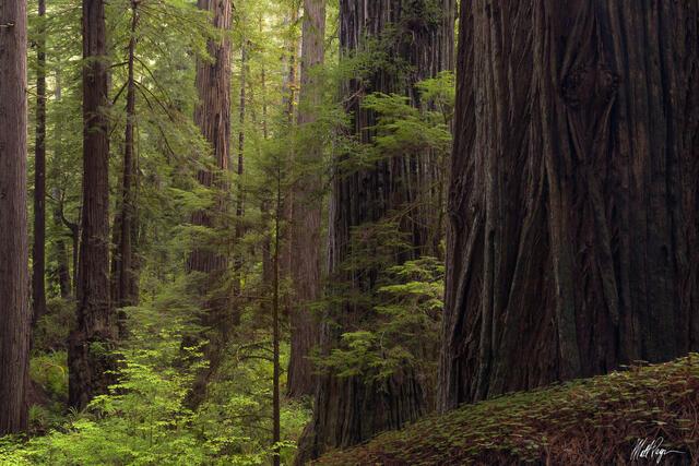 Redwood Giant in Soft Light (2021)