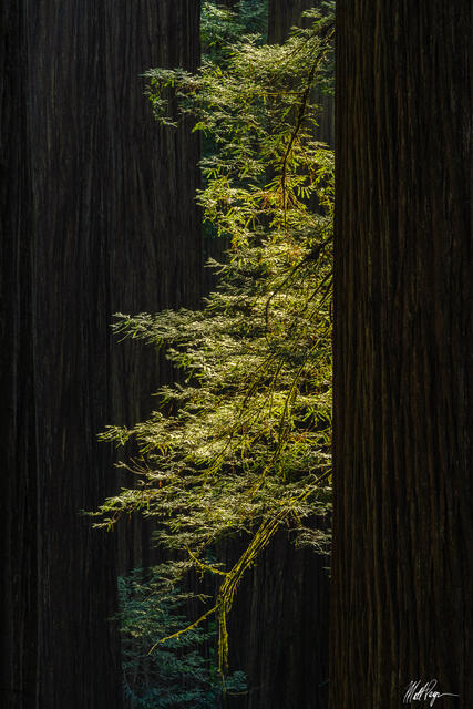 Redwoods Torch (2021)