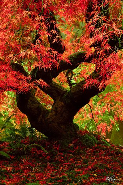 Autumn, Fall, Japanese Maple, Landscape, Leaves, Oregon, Portland, Portland Japanese Garden, Soft Light, tree, Shoshin, zen, sublime