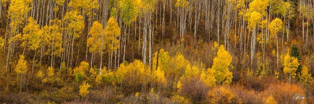 Aspen Trees, Autumn, Colorado, Fall, Fall Colors, Landscape, Panorama,  colorful, warm