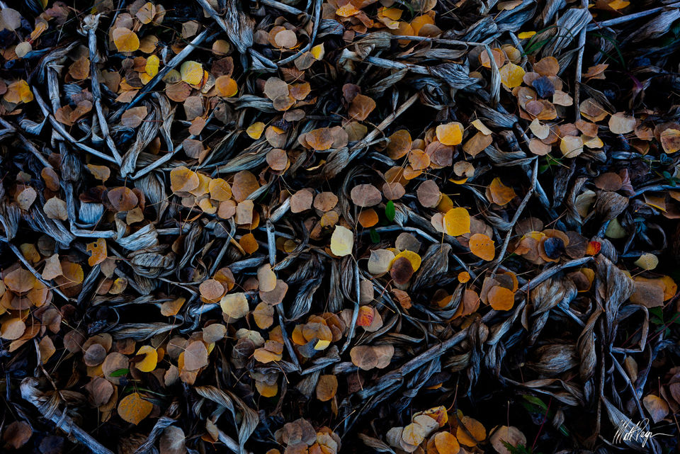 Aspen, Autumn, Colorado, Fall, Fall Colors, Landscape, Leaves, Nature, corn lily, death, decay, frost, intimate, season, tapestry, Crested Butte