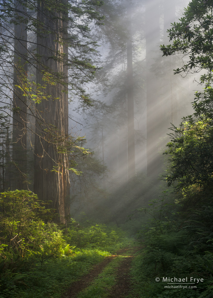 California, Del Norte Coast Redwoods SP, Del Norte County, USA, fog, redwood (Sequoia sempervirens), road, sunbeams, tree, photo