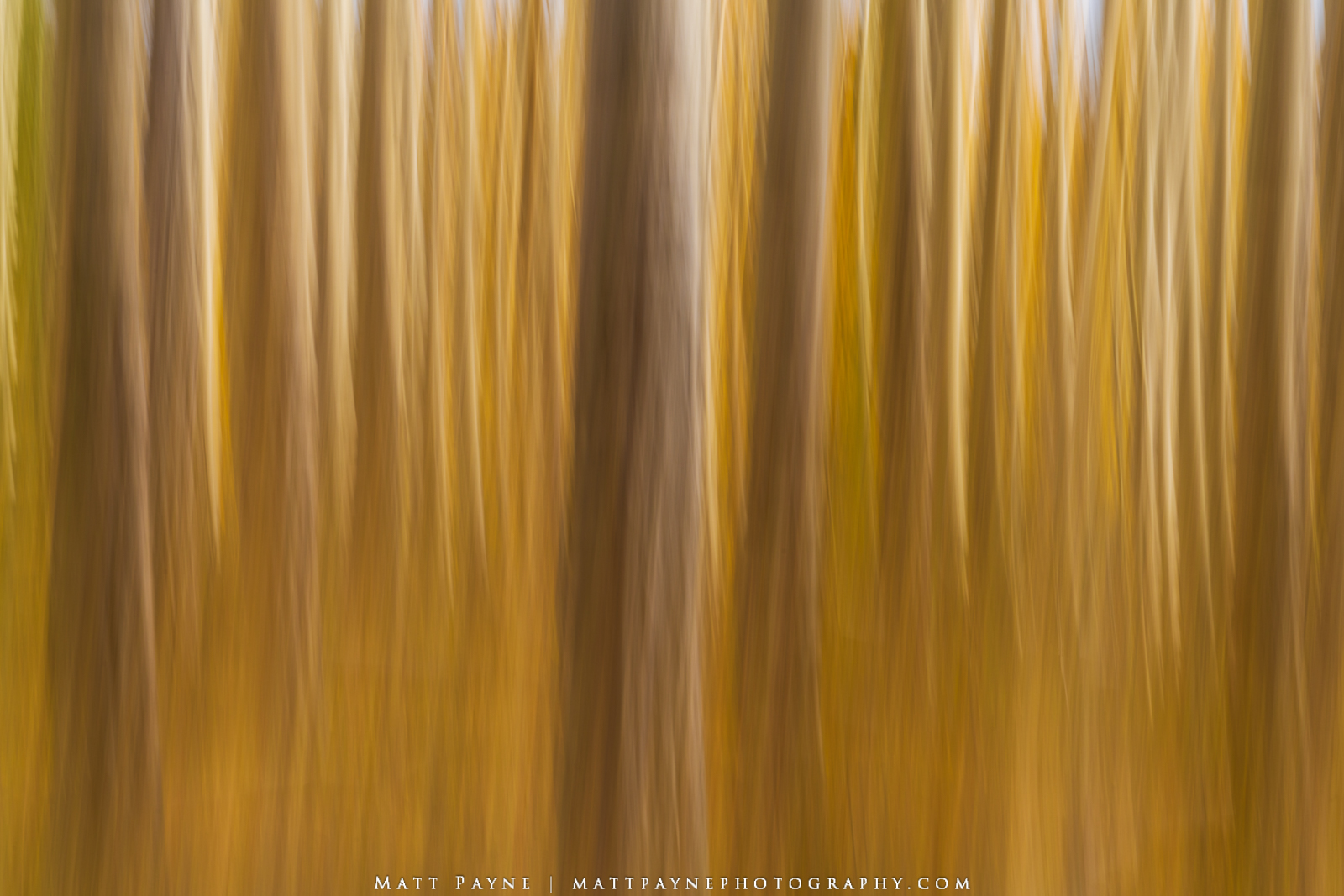 Aspen Trees, Intentional Camera Movement, photo