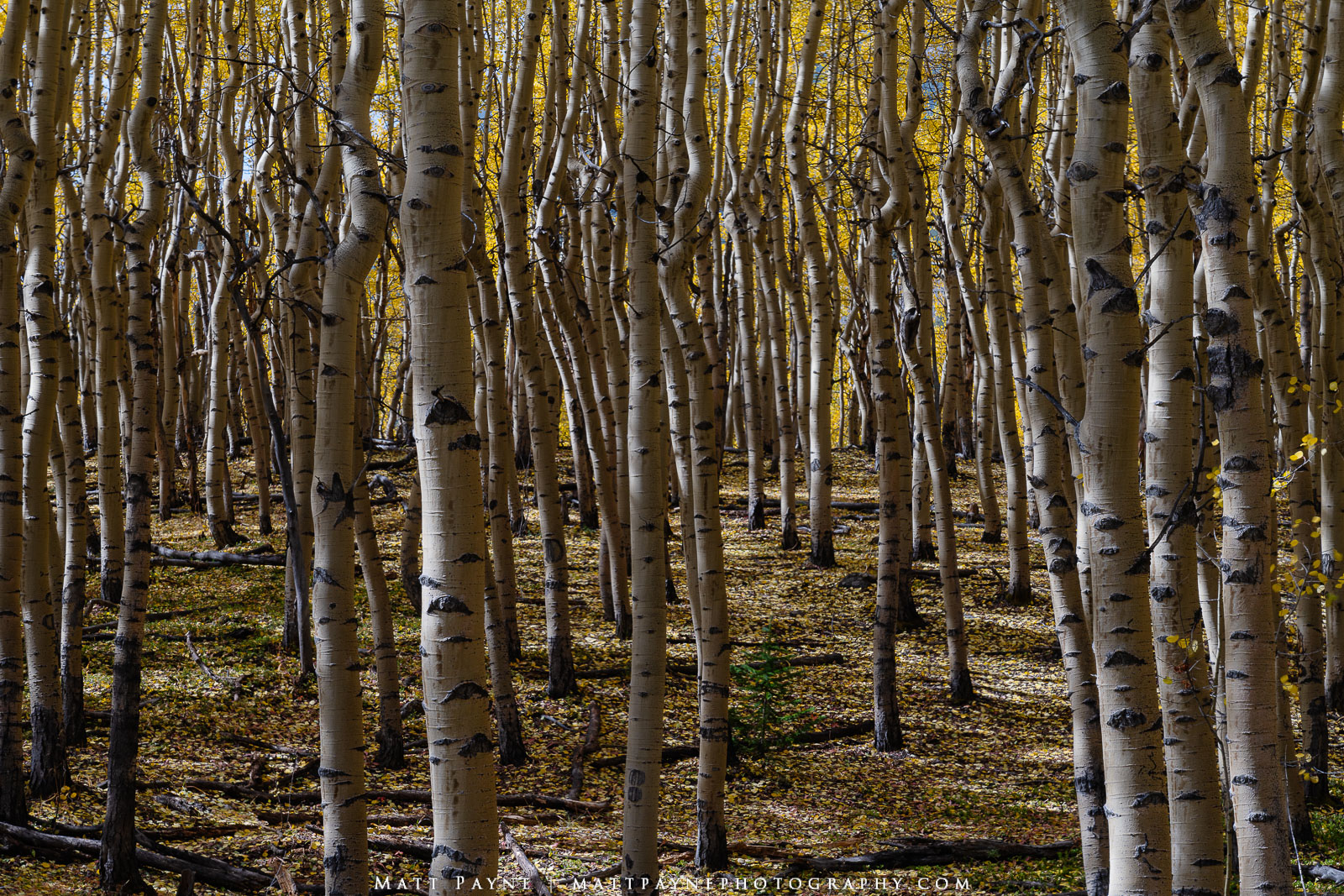 """One of the coolest and creepiest things about wandering through a forest filled with aspen trees in autumn is all of the """"eyes..."""