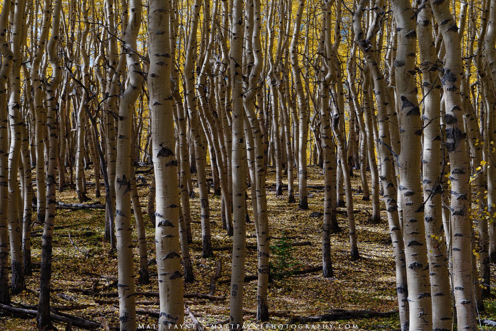 Aspen Trees, Autumn, Colorado, Eyes, Fall, Fall Colors, Landscape, aspen leaves, Landscape Photography, photo